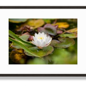 Water Lily, Floral Art Print