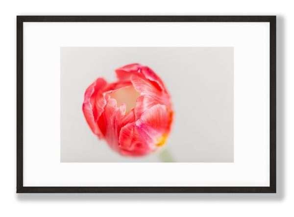Tulip Flower, Floral Art Print